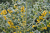 Highfield HOLLIES, Hampshire - FROSTED LEAVES AND Yellow BERRIES of ILEX AQUIFOLIUM 'BACCIFLAVA'