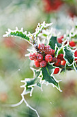 Highfield HOLLIES, Hampshire - FROSTED LEAVES AND Red BERRIES of ILEX AQUIFOLIUM 'Alaska'