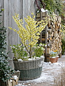 Korb bepflanzt mit Hamamelis 'Arnold Promise' (Zaubernuss), Helleborus