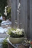 Abeliophyllum distichum (Schneeforsythie), Helleborus niger (Christrose