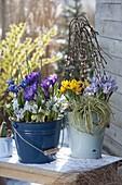 Crocus vernus 'Remembrance' 'Striped Beauty', chrysanthus 'Sunspot'