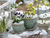 Viola cornuta Penny 'Mickey' (Hornveilchen), Eranthis (Winterlinge), Crocus