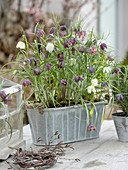 Metall-Jardiniere mit Fritillaria meleagris (Schachbrettblumen)