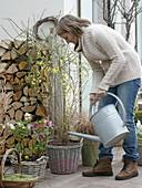 Vorfrühlingsterrasse mit Jasminum nudiflorum (Winterjasmin), Helleborus
