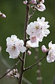 Prunus dulcis (Mandel) blühend