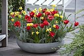 Flache Schale mit Tulipa 'Showwinner' (Tulpen), Narcissus 'Tete a Tete'