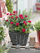Korb bepflanzt mit Rosa (Rosen), Zitronenthymian (Thymus citriodorus)