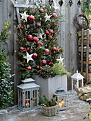 Rose im Kübel weihnachtlich einwintern