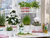 Winterfenster mit Kräutern : Rhododendron simsii 'Fabienne'