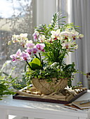 Phalaenopsis (Malayenblumen, Schmetterlingsorchideen), Chamaedorea