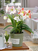 Hippeastrum 'Flaming Striped' 'Mont Blanc' 'Apple Blossom' (Amaryllis)