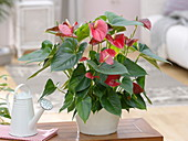 Anthurium andreanum 'Red King' (Flamingoblume)