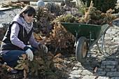 Frau entfernt Winterschutz durch Tannenzweige im März von Rosa (Rosen)