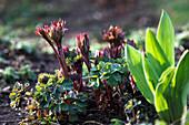 Austrieb von Aquilegia (Akeleien), Paeonia (Pfingstrosen), Blätter von Tulipa (Tulpen)