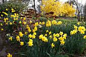 Narcissus (Narzissen), alte Blütenstände von Sedum telephium (Fetthenne), im Hintergrund blühende Forsythia (Goldglöckchen)