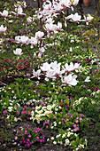 Magnolia soulangeana (Tulpen-Magnolie) in Beet mit Primula (Primeln)