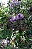 Allium 'Globemaster' (Zierlauch) Blüte von Juni - Juli, vor Mauer mit Salbei (Salvia) und Thymian (Thymus)