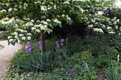 Cornus controversa (Pagoden-Hartriegel) mit Unterpflanzung, Iris barbata (Bartiris)