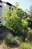 Pistacia vera (Echte Pistazie), Lavandula (Lavendel)