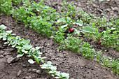 Gemüse - Jungpflanzen im Beet : Radieschen (Raphanus) und Möhren (Daucus carota