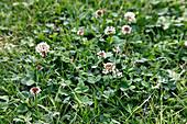 Trifolium repens (Weißklee) im Rasen