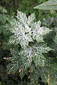 Echter Mehltau (Uncinula tulasnei) auf Acer platanoides (Spitz-Ahorn)