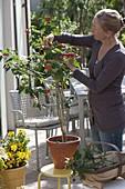 Frau schneidet Abutilon (Schönmalve) zurück, damit sie buschiger wächst
