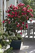 Camellia japonica 'Dr Burnside' (Kamelie) unterpflanzt mit Lobularia