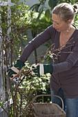 Frau schneidet abgestorbene Triebe von Rosa (Kletterrose) im Frühjahr weg