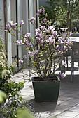 Magnolia fraseri 'George Henry Kern'