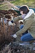 Frau schneidet Sedum telephium (Fetthenne) im März zurück