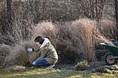 Frau schneidet Pennisetum (Federborstengras) im März zurück