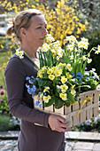 Frau bringt Spankorb mit Narcissus 'Minnow' (Narzissen), Primula elatior
