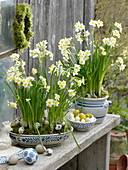 Narcissus 'Minnow' (Narzissen), gut zum verwildern geeignet