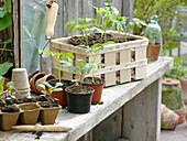 Jungpflanzen von Tomaten (Lycopersicon) und Kohlrabi (Brassica