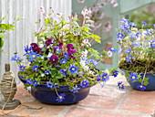Blaue Frühlings-Schale : Anemone blanda (Strahlenanemone), Viola cornuta