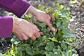Frau erntet Alliaria petiolata (Knoblauchsrauke