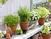 Petersilie (Petroselinum), Schnittlauch (Allium schoenoprasum), Kerbel