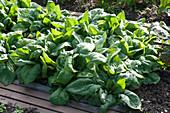 Spinat 'Madator' (Spinacia oleracea) im Gemüsebeet