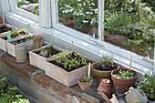 Sämlinge von Gemüse in Aussaat-Schalen und Töpfen am Gewächshaus-Fenster