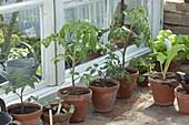 Tomaten aussäen , pikieren und topfen