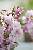 Blüten von Prunus sargentii 'Accolade' (Japanischer Zierkirsche)