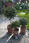 Myrtus communis (Myrten - Stämmchen) in Terracotta-Töpfen mit Untersetzer