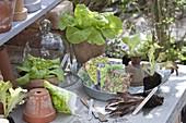 Salate (Lactuca) in Töpfen, als Jungpflanzen im Pressballen