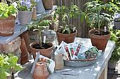 Aus Samen selbstgezogene Jungpflanzen von Tomaten (Lycopersicon)
