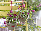 Tulipa humilis 'Violacea Yellow Base' (Wildtulpen) in Töpfen