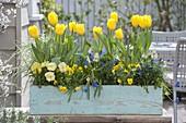 Blau-gelber Frühlings-Kasten