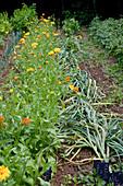 Noun : vor der Ernte flachgelegter Knoblauch (Allium sativum), dahinter Calendula (Ringelblumen) in Reihe