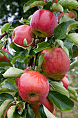 Apfel 'Jonagold Novajo' (Malus domestica) ist eine größfrüchtige Mutation von Jonagold, süß-feinsäuerlich, aromatisch, gut lagerfähig,