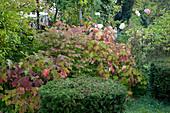 Noun : Hydrangea quercifolia (Eichenblatt-Hortensie), Euonymus alatus (Korkleisten-Spindelstrauch), Taxus baccata (Eibe) formgeschnitten, im Hintergrund Rosa (Rosen)
